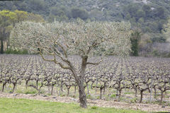 Olive Trees and Vineyard, Provence. France Royalty Free Stock Photo