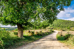 Olive trees and vineyards in a small village in Tuscany Royalty Free Stock Images