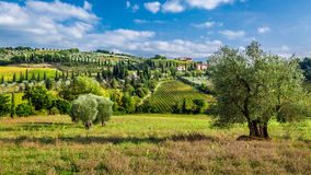 Olive trees and vineyards in Tuscany Royalty Free Stock Photos
