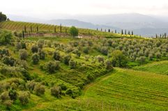 Olive trees and vineyards in Tuscany , Italy Stock Photo