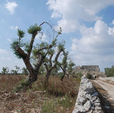 Olive Trees and Wall Stock Images