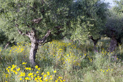 Olive trees and yellow flowers near stoupa in mani on greek pelo Stock Images