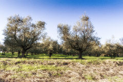 Olive trees and yellow weeds Stock Images
