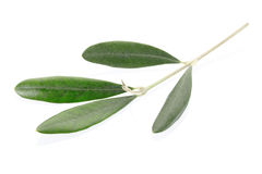 Olive twig Stock Image