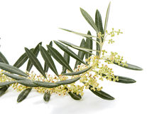 Olive twig  blossom Royalty Free Stock Images