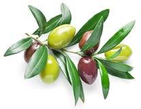 Olive twig. Stock Photos