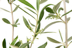 Olive twigs with buds. Olive twigs on white background with buds or little fruits Stock Image