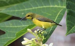 Olive unterstützte das sunbird, das auf Blumen gehockt wurde Stockfoto