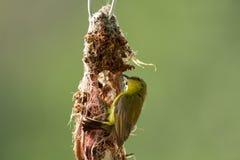 Olive-unterstütztes Sunbird lizenzfreie stockbilder