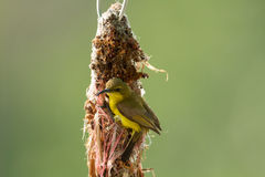 Olive-unterstütztes Sunbird stockbilder