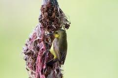 Olive-unterstütztes Sunbird lizenzfreie stockfotografie