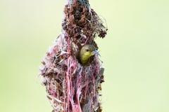Olive-unterstütztes Sunbird stockfoto