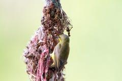 Olive-unterstütztes Sunbird lizenzfreies stockfoto