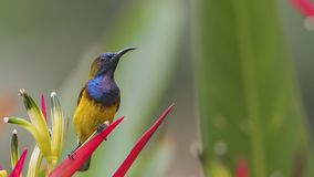 Olive-unterstütztes Sunbird auf Blume stockfotografie