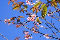 Olive-unterstütztes Sunbird auf Zweig von Kirschblüte Stockbild