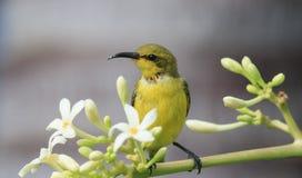 Olive unterstütztes sunbird mit Kopienraum Lizenzfreie Stockfotos