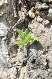 olive utbrotttree Arkivbild