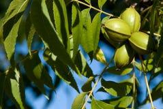 Olive verdi immagine stock