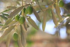 Olive verdi che appendono su di olivo Immagine Stock Libera da Diritti