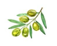 Olive verdi con le foglie su fondo bianco, acquerello Immagine Stock