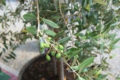 Olive verdi crescenti Immagine Stock