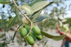 Olive verdi crescenti Immagini Stock Libere da Diritti