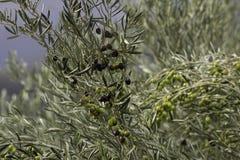 Olive verdi del nero di olivo Immagine Stock Libera da Diritti