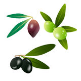 Olive verdi ed olive scure sul ramo con le foglie isolate su fondo bianco Illustrazione di vettore Fotografia Stock
