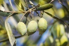Olive verdi mature, gradi siriani Fotografia Stock Libera da Diritti