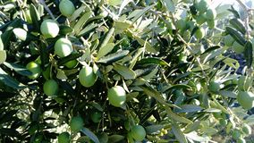 Olive verdi su un albero immagini stock