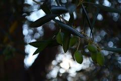 Olive verdi fotografie stock