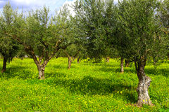 Olive woods with green grass. Greece. Olive woods with green grass stock image