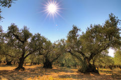 Olive yard Stock Images