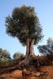olive zakorzeniona drzewa Fotografia Royalty Free
