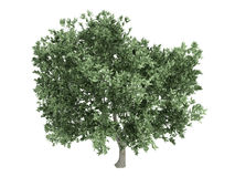 Free Olive_(Olea_europaea) Royalty Free Stock Photography - 9784527