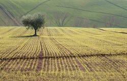 oliveira Imagens de Stock