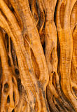 Oliveira 700 anos velha Foto de Stock Royalty Free