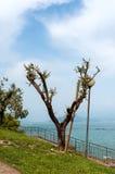 Oliveira antiga no lago Garda foto de stock