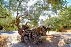 A oliveira a mais velha em Zakynthos Oliveira das pessoas de 2000 anos em Exo Imagem de Stock Royalty Free