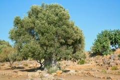 Oliveira muito velha; 2000 anos de oliveira velha Imagens de Stock Royalty Free