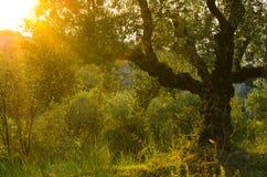 Oliveira na ilha durante o por do sol, Grécia de Zakynthos fotografia de stock royalty free