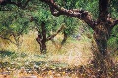 Oliveira só na Creta, Grécia fotografia de stock
