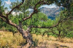 Oliveira só na Creta, jardim do Cretan fotografia de stock royalty free