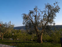 Oliveira verde-oliva mediterrânea Fotos de Stock Royalty Free