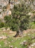 Oliveira verde velha nas rochas em Greece imagem de stock
