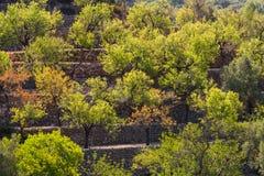 Oliveiras em árvores medicean do óleo dos terraços fotografia de stock