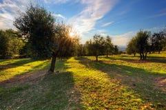 Oliveiras em Toscânia, Itália no por do sol foto de stock royalty free