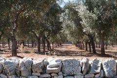 Oliveiras nas linhas em um bosque verde-oliva perto de Alberobello em Puglia, Itália sul Parede de pedra no primeiro plano fotografia de stock royalty free