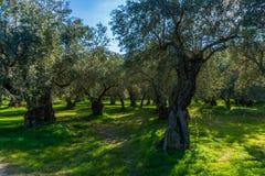 Oliveiras velhas em um bosque verde-oliva em Delphi em Grécia Foto de Stock