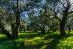 Oliveiras velhas em um bosque verde-oliva em Delphi em Grécia Fotos de Stock
